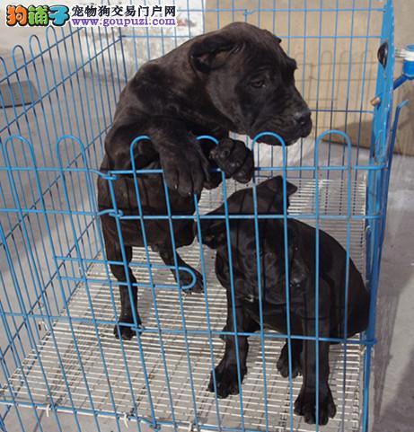 北京出售顶级纯种卡斯罗幼犬,公母都有,全国空运。