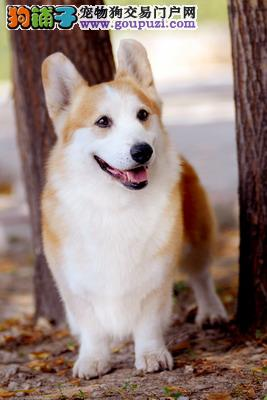 出售极品柯基幼犬完美品相赠送全套宠物用品