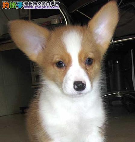 郑州知名犬舍出售多只赛级柯基包养活包退换