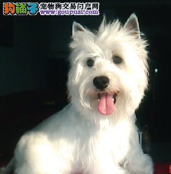 冠军级西高地宝宝待售犬舍为您提供高品质犬宝宝
