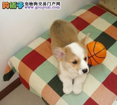 成都出售柯基幼犬品质好有保障赠送全套宠物用品
