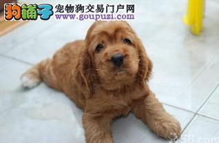 顶级金毛宝宝 赛级品质完美体型 欢迎上门看狗