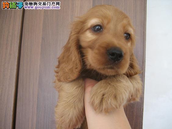 天津美系英系可卡犬幼犬出售包纯种健康喜欢朋友可上门