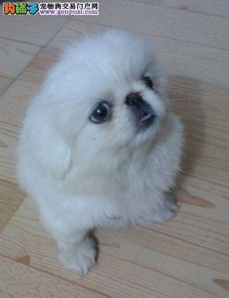 纯种白色,黄色京巴犬,中华的国粹犬