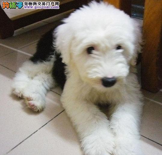温州纯种英国古代牧羊犬,白头通背,双蓝眼,体态完美