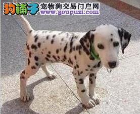 青岛热销斑点狗颜色齐全可见父母可直接微信视频挑选