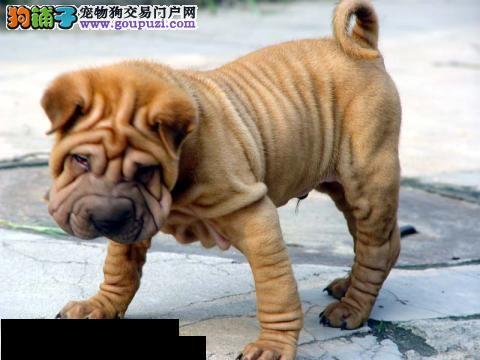 专业正规犬舍热卖优秀的济南沙皮狗欢迎爱狗人士上门选购