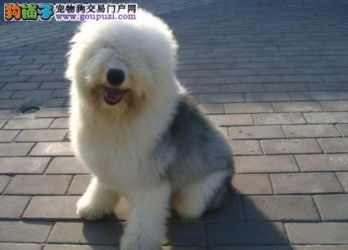 纯种古代牧羊犬白头通背品相纯血统好保健康
