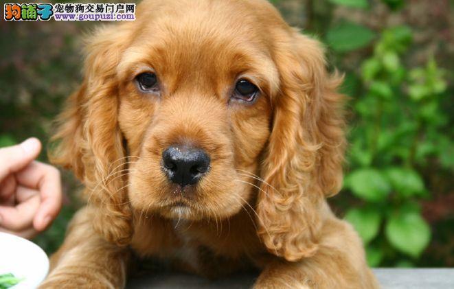 纯种可卡犬在这里出售价格优惠包纯种和健康