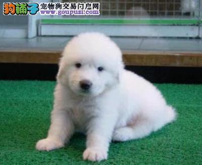 犬舍直销纯种大白熊宝宝——希望能够找到喜欢他的主人