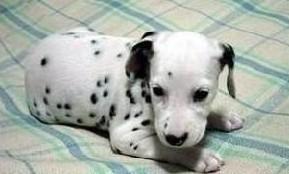 出售斑点狗幼犬、专业繁殖血统纯正、签订正规合同