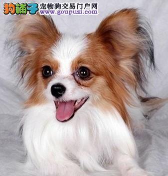 赛级品相蝴蝶犬幼犬低价出售喜欢来电咨询