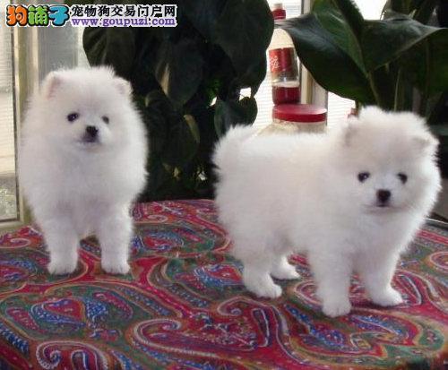 纯种健康的雪白银狐幼犬出售