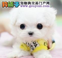 杭州自家养殖纯种茶杯犬低价出售品质一流三包终身协议