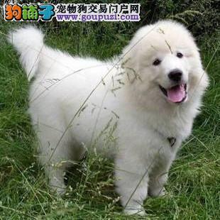 赛级品相扬州大白熊幼犬低价出售欢迎上门选购价格公道