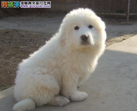 专业繁殖基地常年出售纯种健康的大白熊幼犬多条