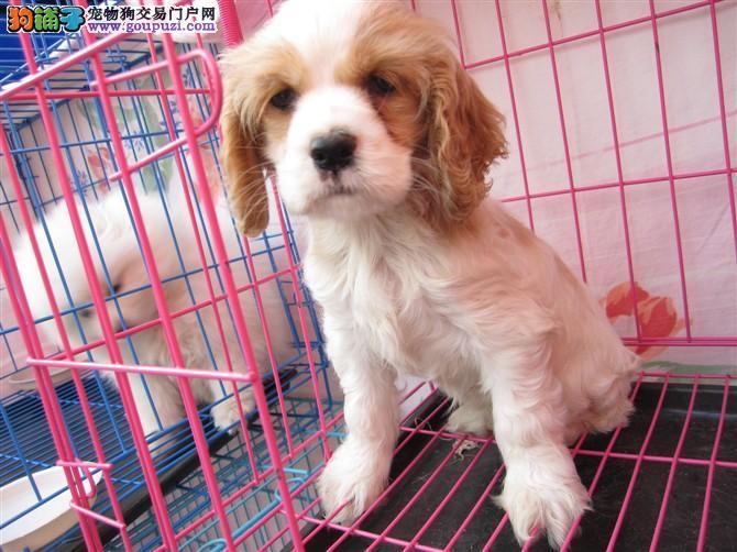 正规狗场英系可卡 美系可卡赛级品质可卡犬出售