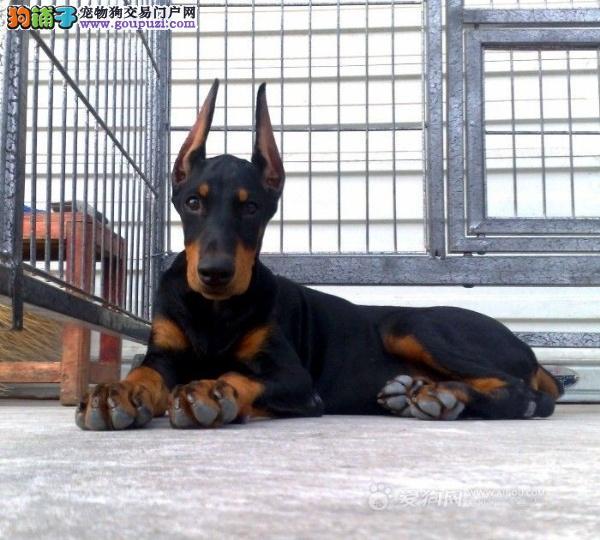 出售杜宾犬颜色齐全公母都有可签订活体销售协议