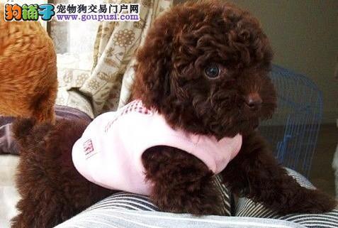 多窝纯血统的珠海泰迪犬找新主人 请您放心选购