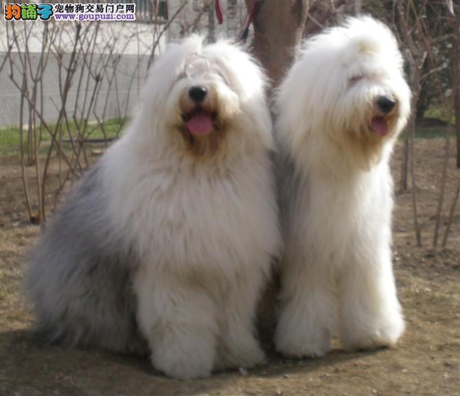 纯种古老牧羊犬,花头白头全有