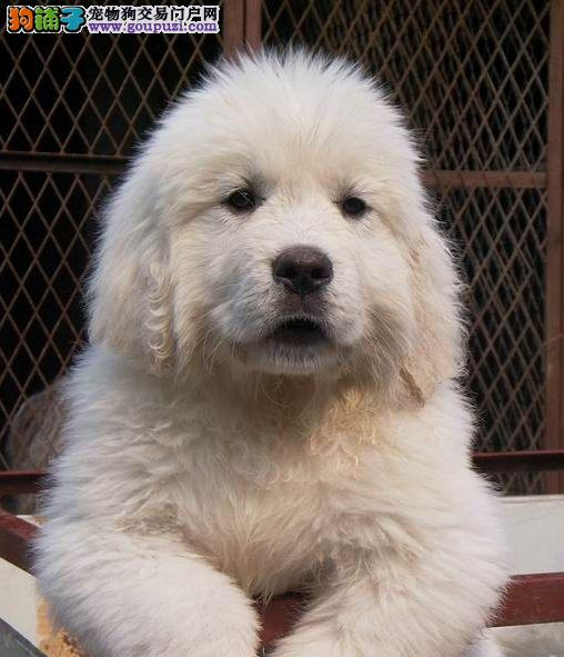 大白熊狗场繁殖现售幼犬 品种优质 带证书 可送货