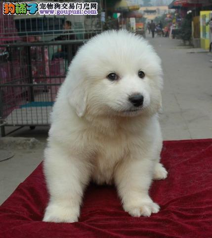 出售聪明漂亮的大白熊宝宝双血统哦
