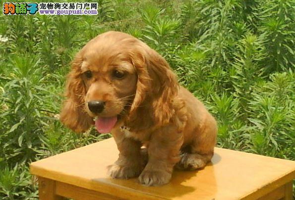 云南繁殖基地在那狗犬买卖云南买狗犬舍直销可卡犬
