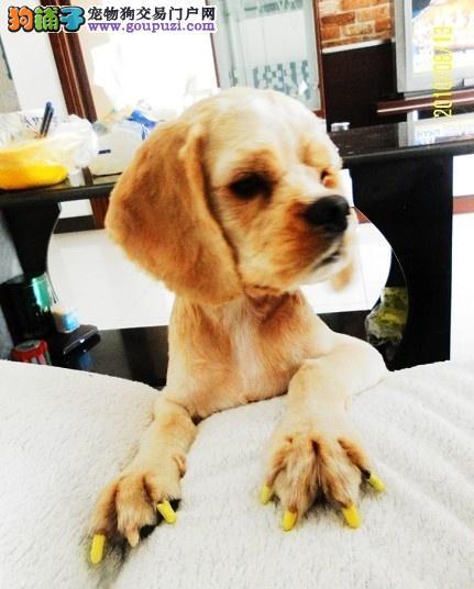 出售家养可爱纯种英国可卡狗宝