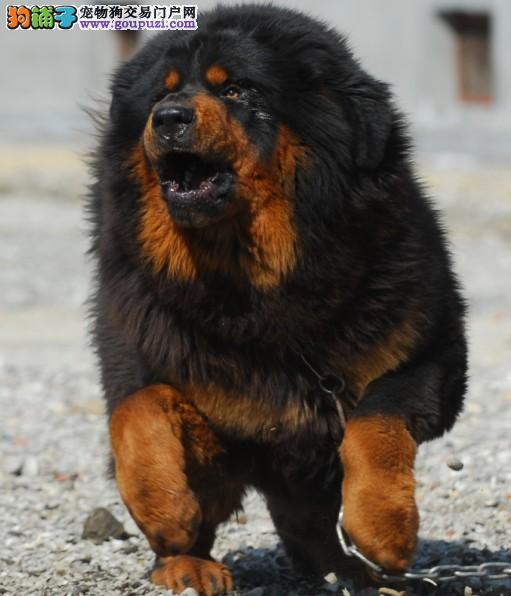 晋中/藏獒幼犬真正狮子头铁包金、毛量足、骨架大/低价热卖[两个月公母...