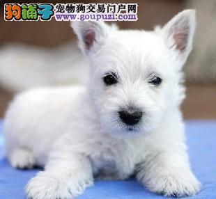 南京西高地犬价格 南京西高地犬图片 南京狗狗出售