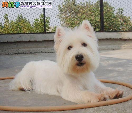 CKU认证犬舍 专业出售极品 西高地幼犬当日付款包邮
