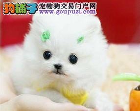 重庆哪里出售博美纯种茶杯犬俊介犬出售咯很萌超可爱