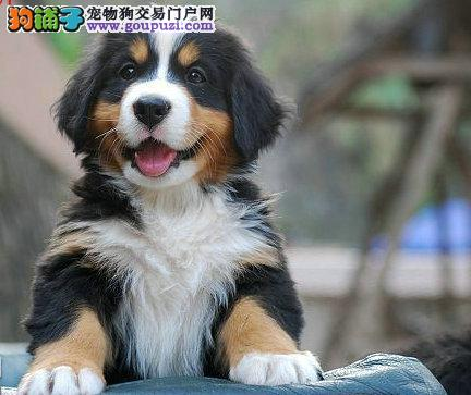 热销多只优秀的吉林纯种伯恩山幼犬专业繁殖中心值得信赖