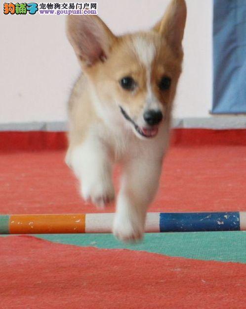 CKU犬舍认证出售高品质柯基微信选狗直接视频