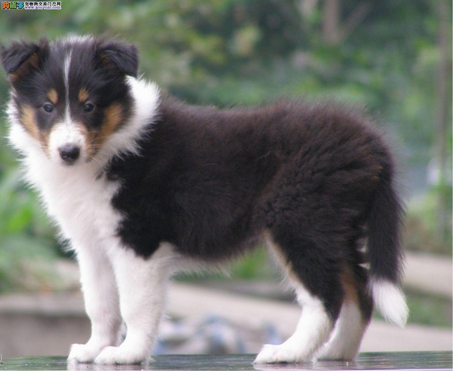 纯种苏格兰牧羊犬出售 赛级血统品相完美品质保证