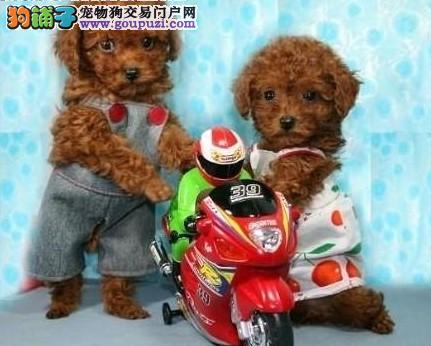 出售纯种玩具型泰迪熊宝宝1000起随时可以视频