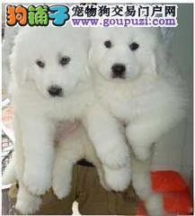 专业狗场繁殖出售纯种/健康大白熊幼犬!