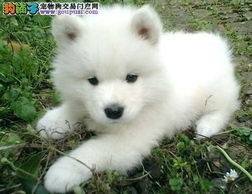 家养赛级银狐犬宝宝品质纯正签订协议终身质保