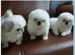 武汉宠物狗出售 武汉哪里有卖京巴犬 北京犬