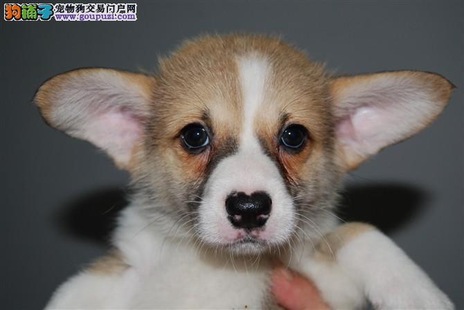 最大犬舍出售多种颜色柯基优惠出售中狗贩子勿扰