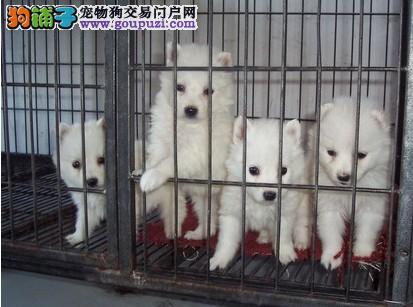 经典白色银狐幼犬健康信誉第一欢迎选购