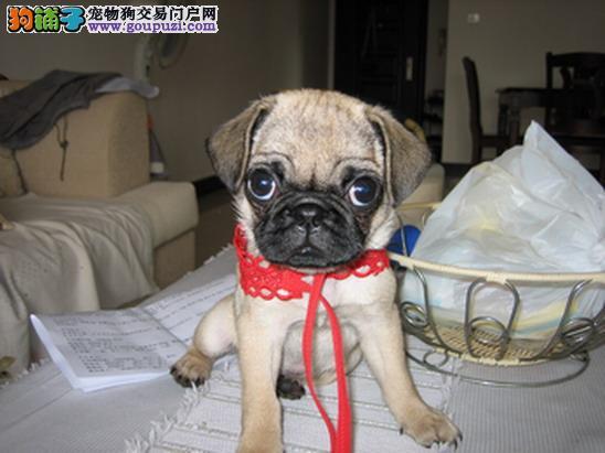 南宁/新新爱犬社出售——八哥BB[三个月公母全有]