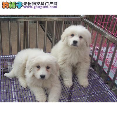 专业狗场繁殖出售纯种/健康大白熊幼犬