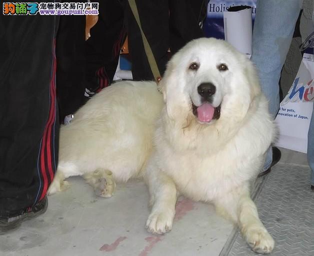 大白熊犬非常善良,有自信、温和、沉着