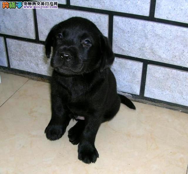 出售健康北京拉布拉多犬 欢迎来当地犬舍直接购买