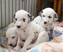 国际注册犬舍 出售极品赛级斑点狗幼犬价格低廉品质高