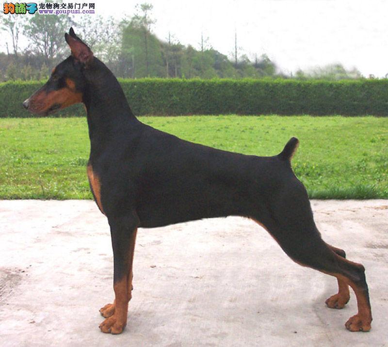 多种颜色的赛级杜宾犬幼犬寻找主人CKU认证绝对信誉保障