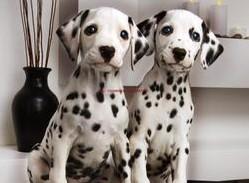 出售纯种可爱的斑点狗宝宝