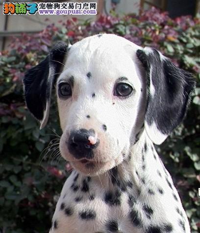 公母均有的哈尔滨斑点狗找爸爸妈妈下单有礼全国包邮