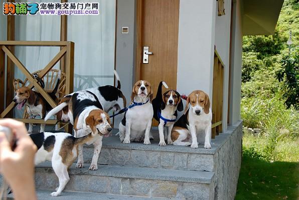 武汉自家繁殖的纯种比格犬找主人带血统证书签活体协议